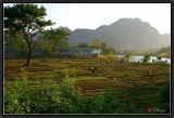 Working in the Fields at Sunset. Vang Vieng.