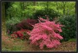 Azalées et Rhododendrons.