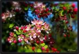 Blooming Apple Tree.
