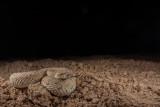 Colorado Desert Sidewinder
