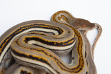 Genetic Stripe Reticulated Python