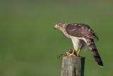 Cooper's Hawk on Grackle prey