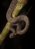 Bothrops atrox - Lancehead Viper. Ecuador, Amazonia