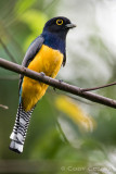 Gartered Trogon