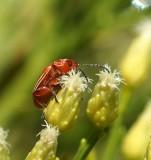 Flee Beetle