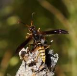 Polistes Comanchus Wasp