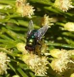 Blue/Green Bottle Fly