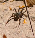 Western Orb Weaver Spider