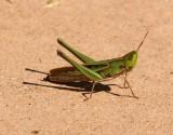 Montazuma Grasshopper