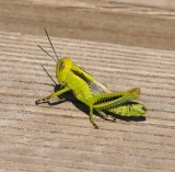 Differential Grasshopper Nymph