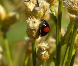 Twice-stabbed Lady Beetle