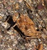 Chihuahua Lubber Grasshopper