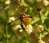 Thick-headed Fly