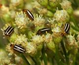 Pigweed Flea Beetles