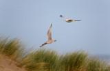 Zilvermeeuw - European Herring Gull