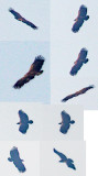 Bastaardarend - Greater Spotted Eagle
