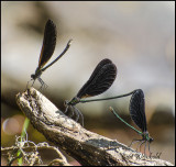Calopteryx maculata, Ebony Jewelwing