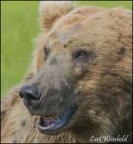 Alaska Bears, Glaciers, Moose