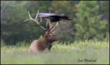 Resting elk harrased by flying turkey.