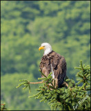 Eagle at Lyman Lake
