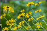 Blackeyed Susans collage