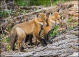 Red Fox pups