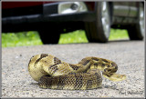 Yellow-phase Timber Rattler