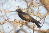 Crow, Large-billed @ Corbett