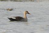 Duck, Spot-billed @ Kaziranga