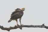 Eagle, Changeable Hawk @ Kaziranga