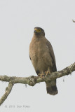 Eagle, Crested Serpent @ Kaziranga