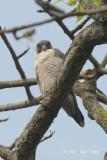 Falcon, Peregrine @ Kaziranga