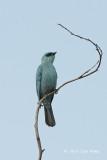 Flycatcher, Verditer @ Pangot