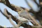 Flycatcher, Ultramarine (female) @ Pangot