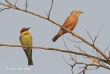Starling, Chestnut-tailed @ Corbett
