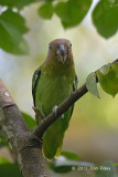 Parrot, Blue-rumped (female) @ Venus Drive