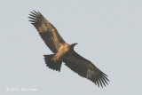 Eagle, Steppe @ Kaziranga