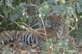 Tiger, Bengal @ Corbett
