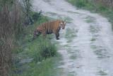 Tiger, Bengal (male) @ Kaziranga