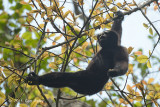 Gibbon, Western Hoolock (male) @ Hoollongapar Gibbon Sanctuary