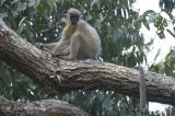 Langur, Capped @ Hoollongapar Gibbon Sanctuary
