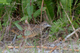 Buttonquail, Barred