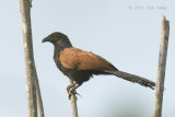 Coucal, Greater