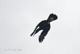 Hornbill, Bushy-crested
