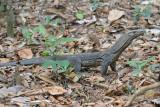 Rough-necked Monitor Lizard