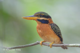 Kingfisher, Rufous-collared (female)