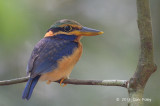 Kingfisher, Rufous-collared (juv male)