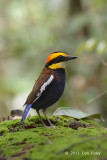 Pitta, Malayan Banded (male)