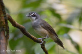 Babbler, Grey-breasted