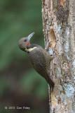 Woodpecker, Buff-necked